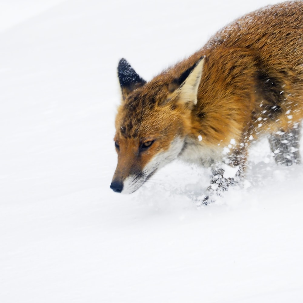 brown and black fox on snow