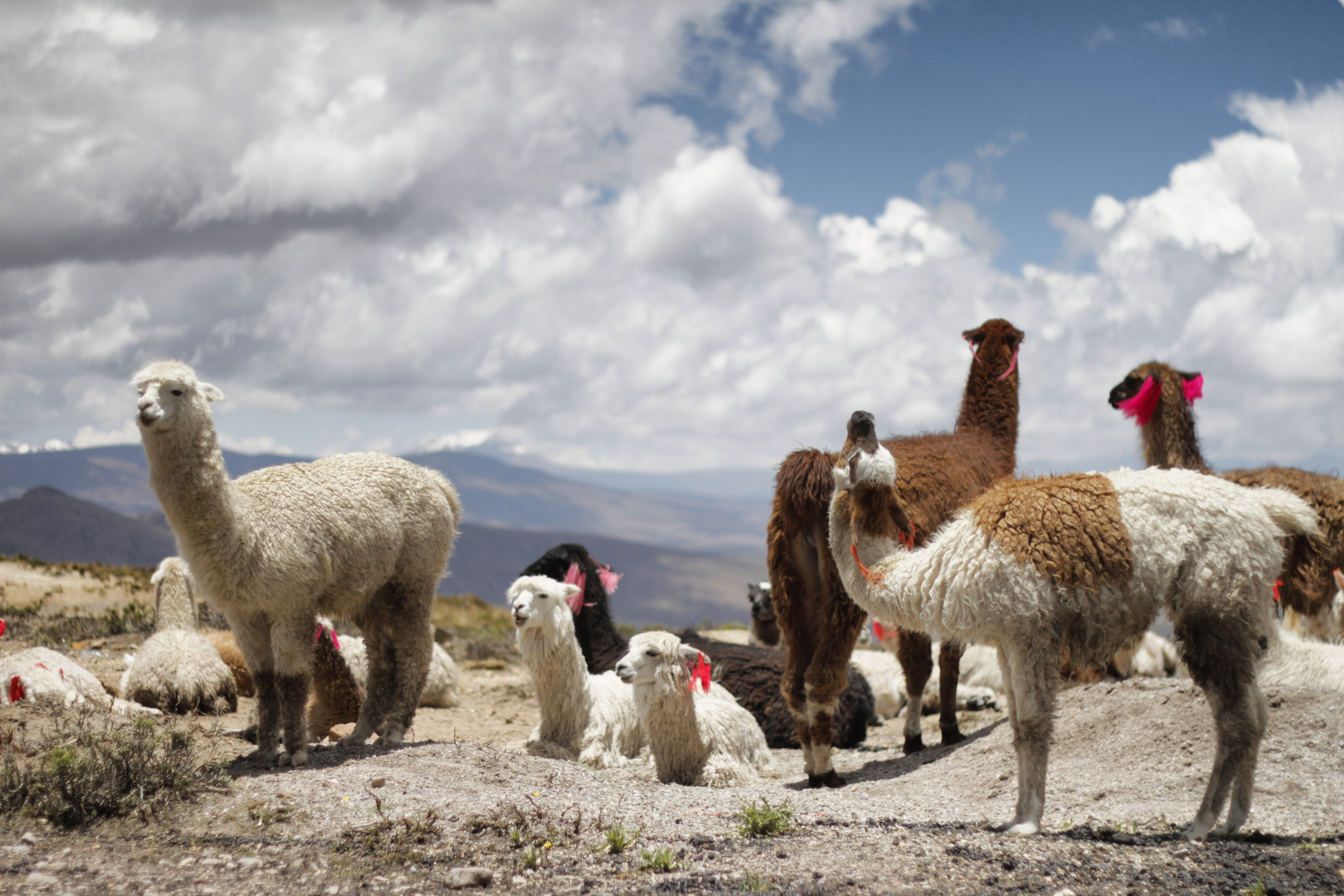 herd of alpacas during daytime