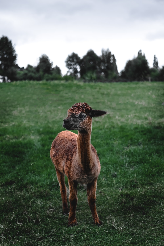 brown lamb on meadow