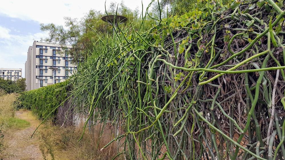 green vine plant vine on brown concrete wall