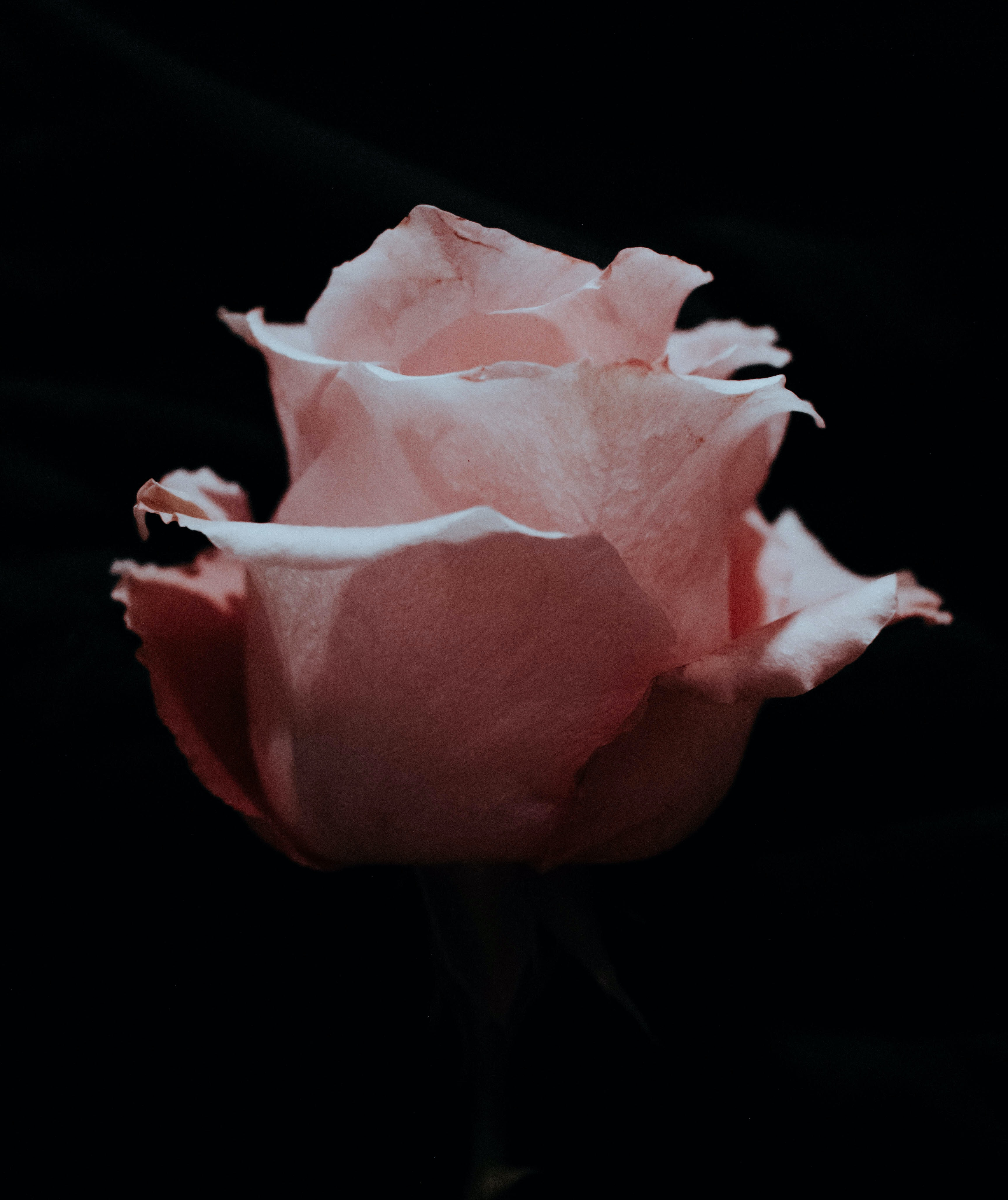 photo of blooming pink rose