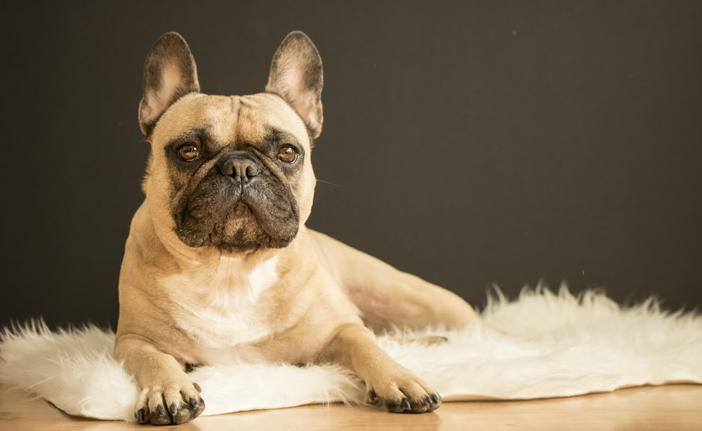 brown and black French bulldog lying on white fur area rug