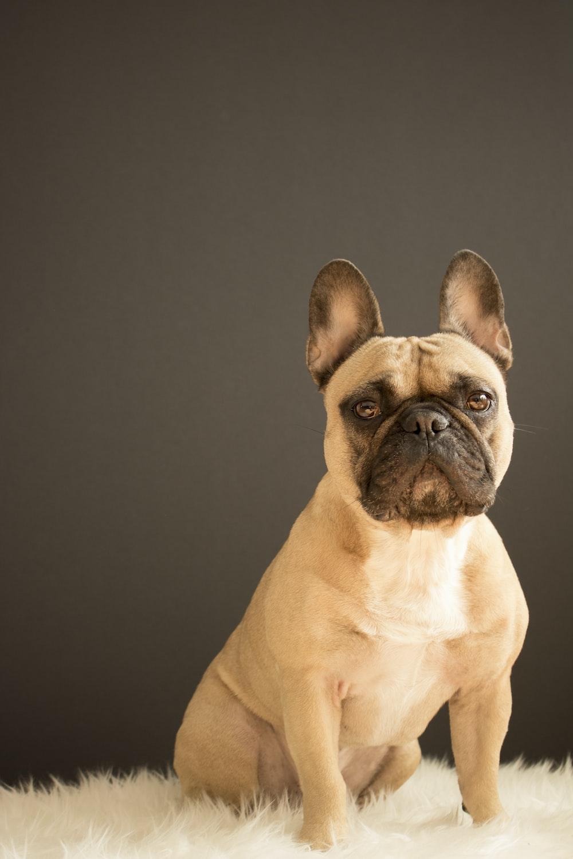 short-coated tan dog sitting on white fur textile