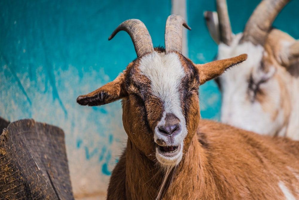 macro shot photography of brown and black goat