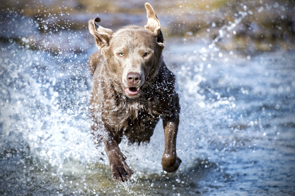 running adult brown dog