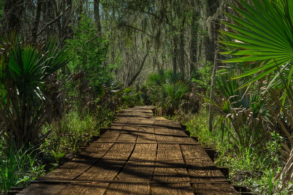 brown wooden pathway surrounded by fan palm