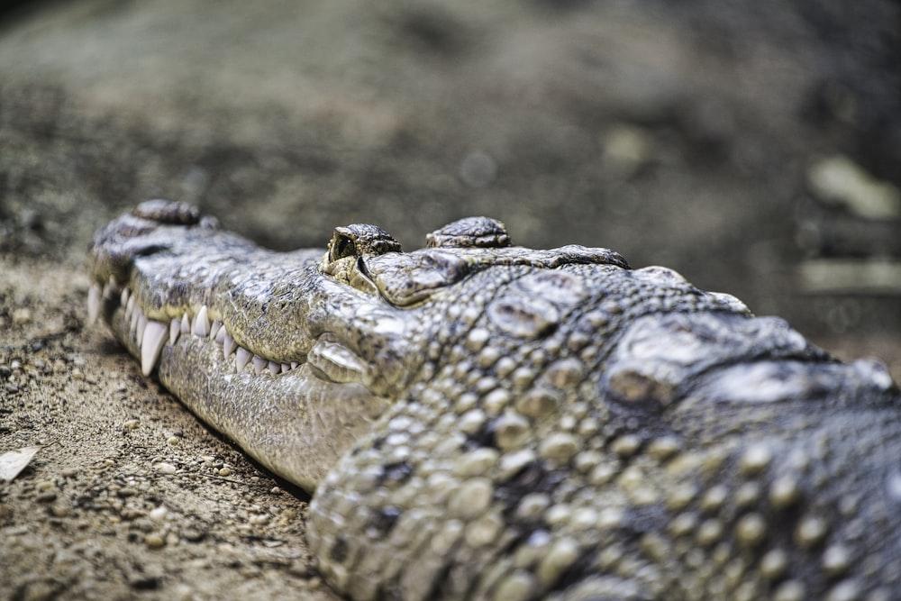 close-up photography of gray crocodile