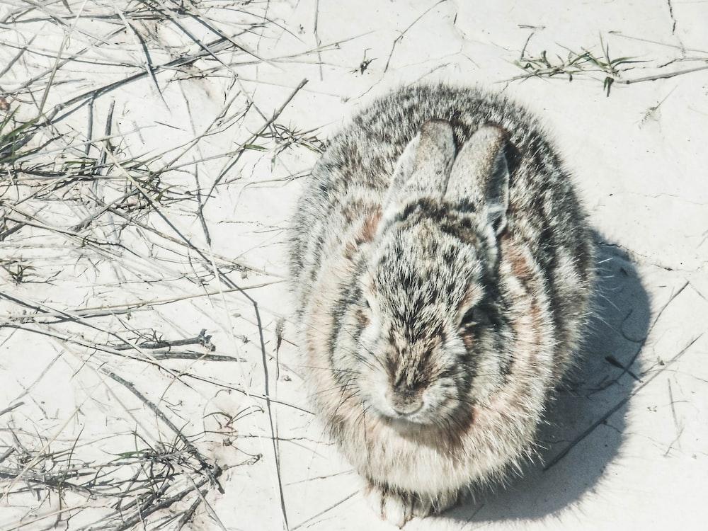 gray rabbit on snowfield
