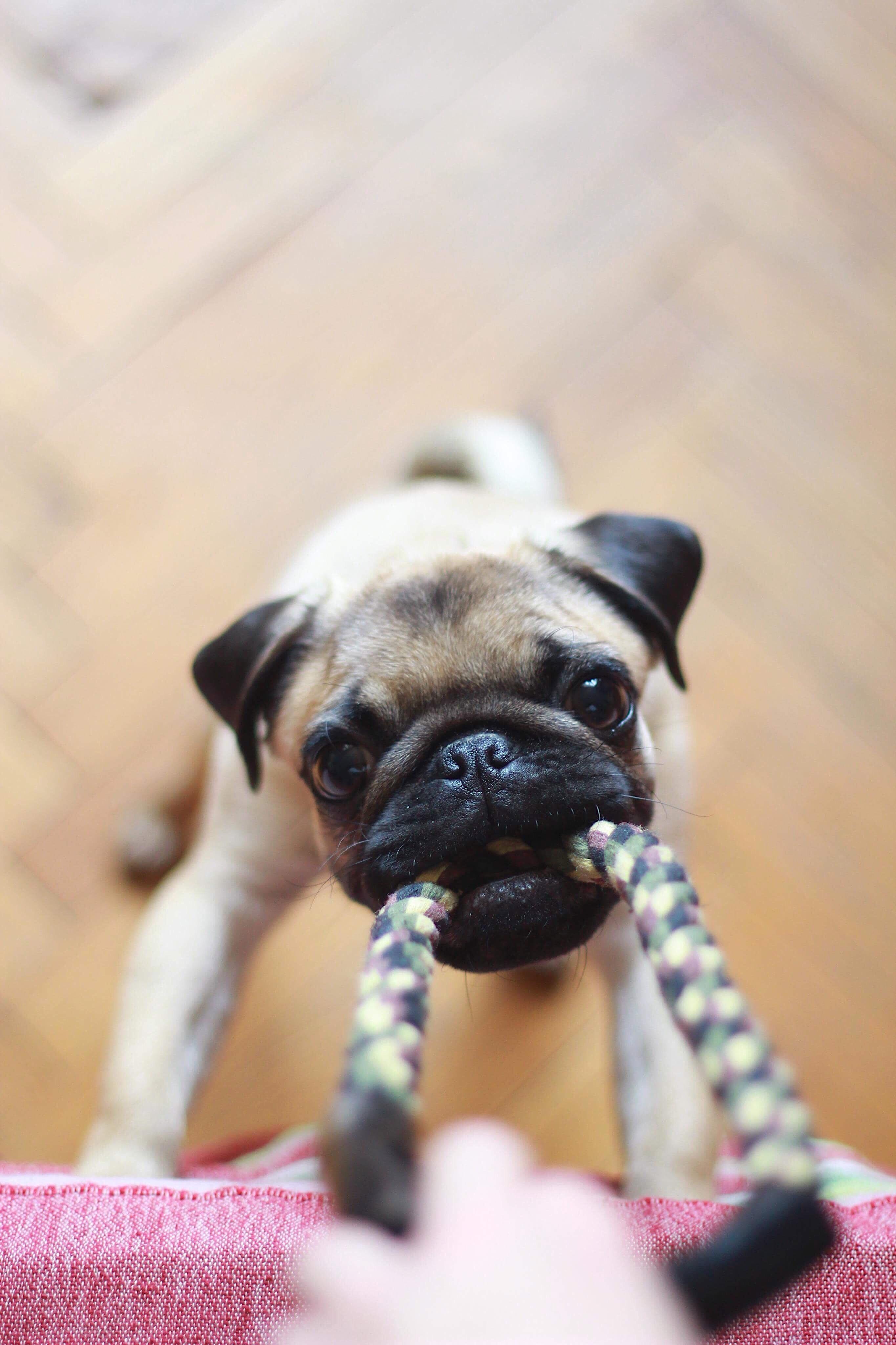 fawn pug biting rope
