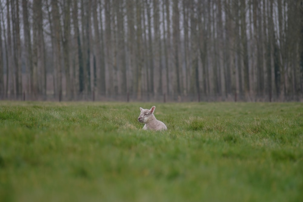 selective focus photography of goat lying on grass