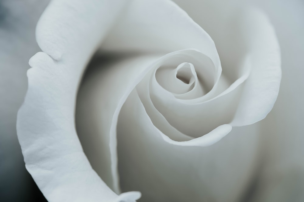 100 white flower pictures download free images on unsplash white rose petals mightylinksfo