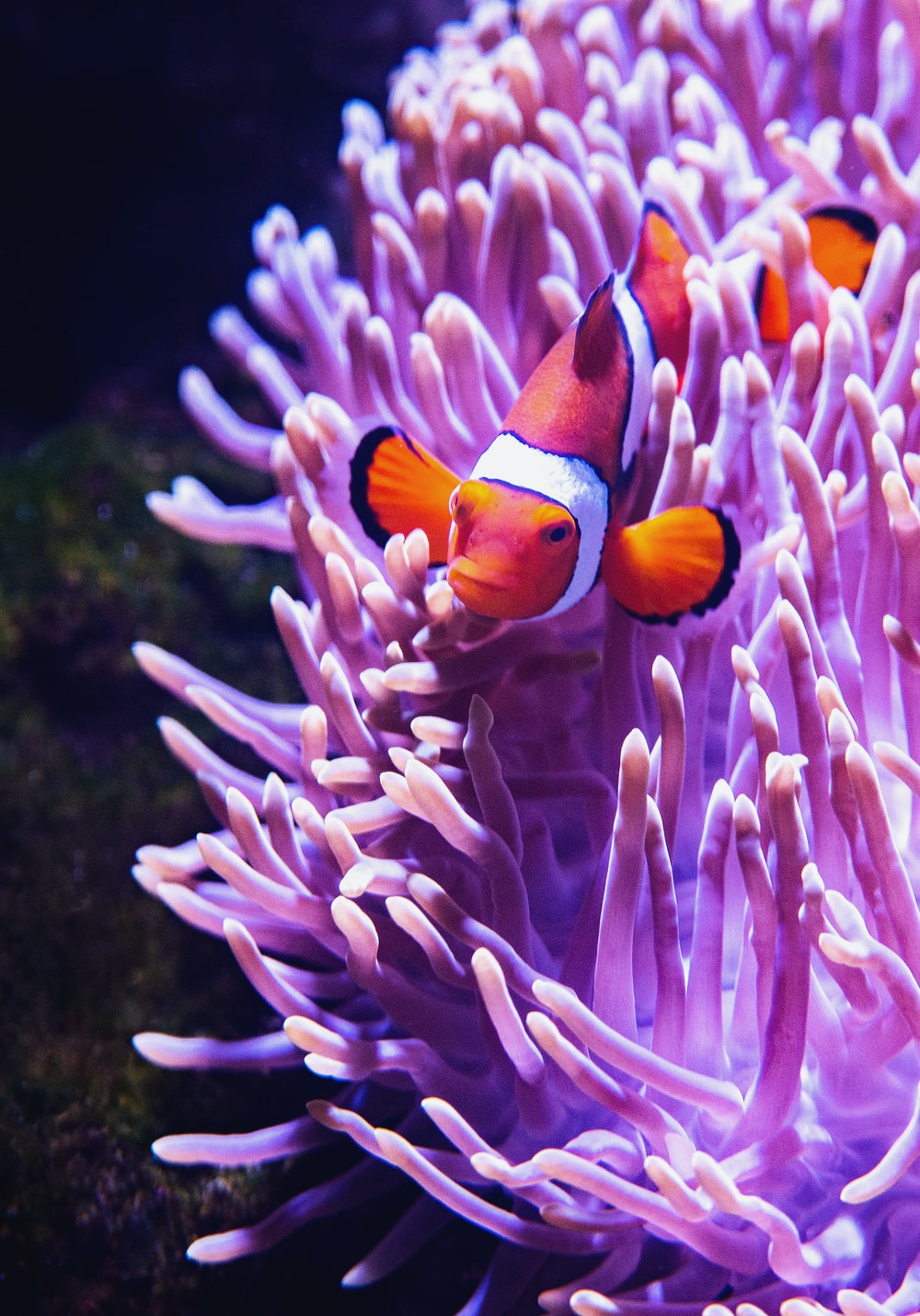 close-up photography of clownfish beside purple coral rift