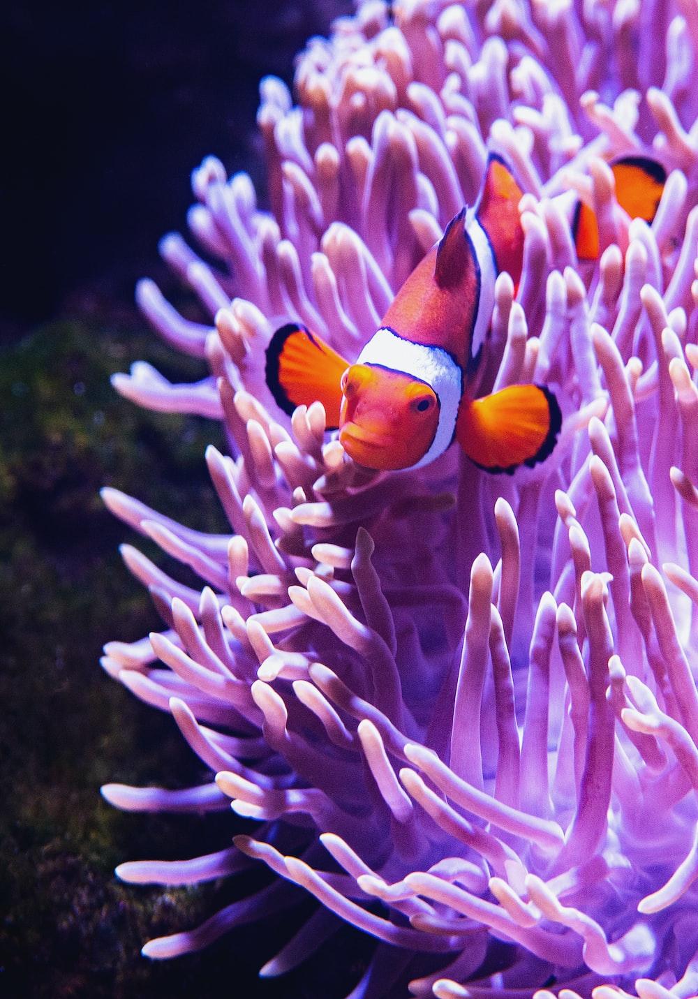 close-up photography of clownfish beside purple coral rift
