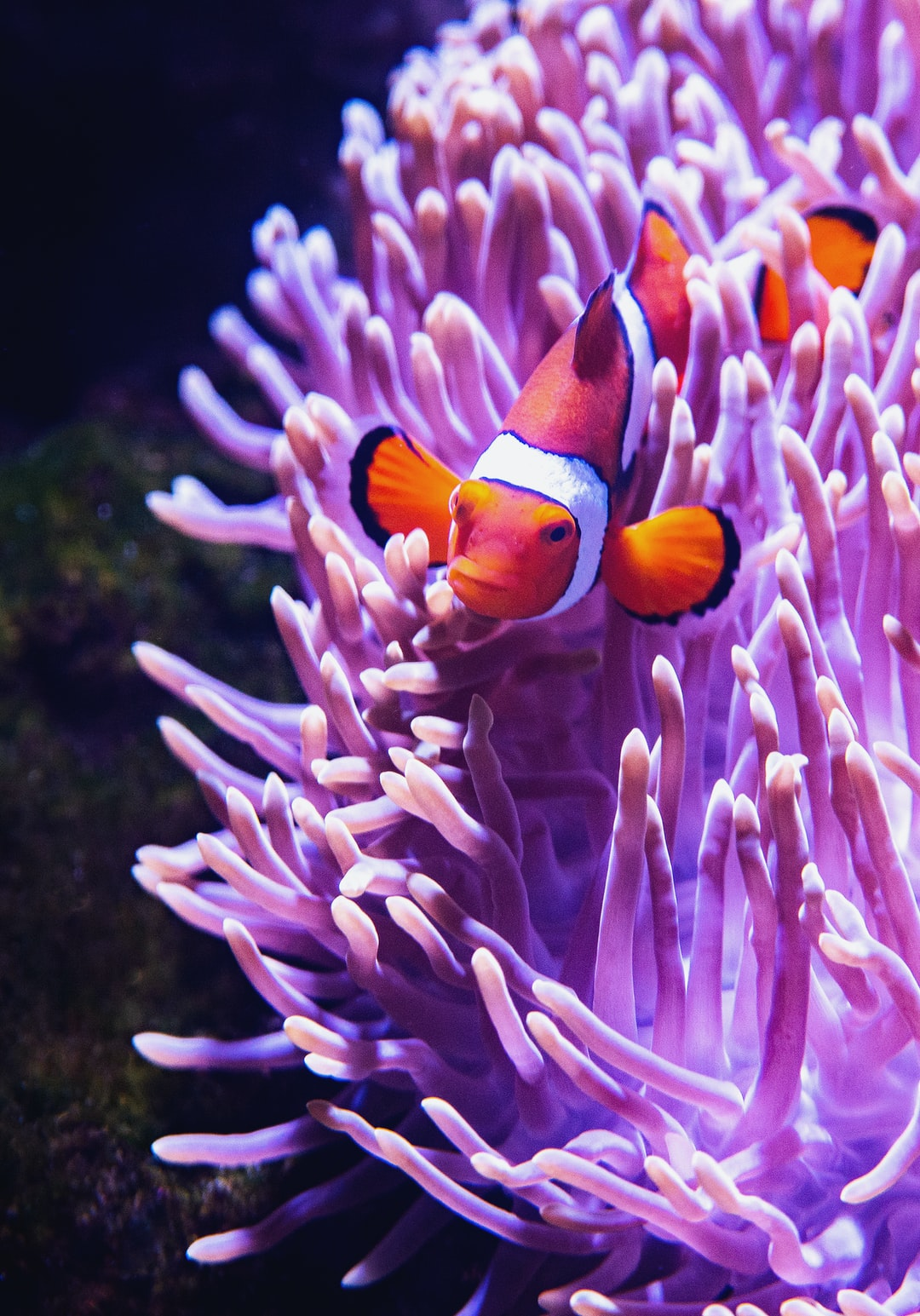 The Clown Anemonefish is the type of fish in the film Finding Nemo. This photo shows typical behaviour where they live in and find protection in stinging sea anemones.