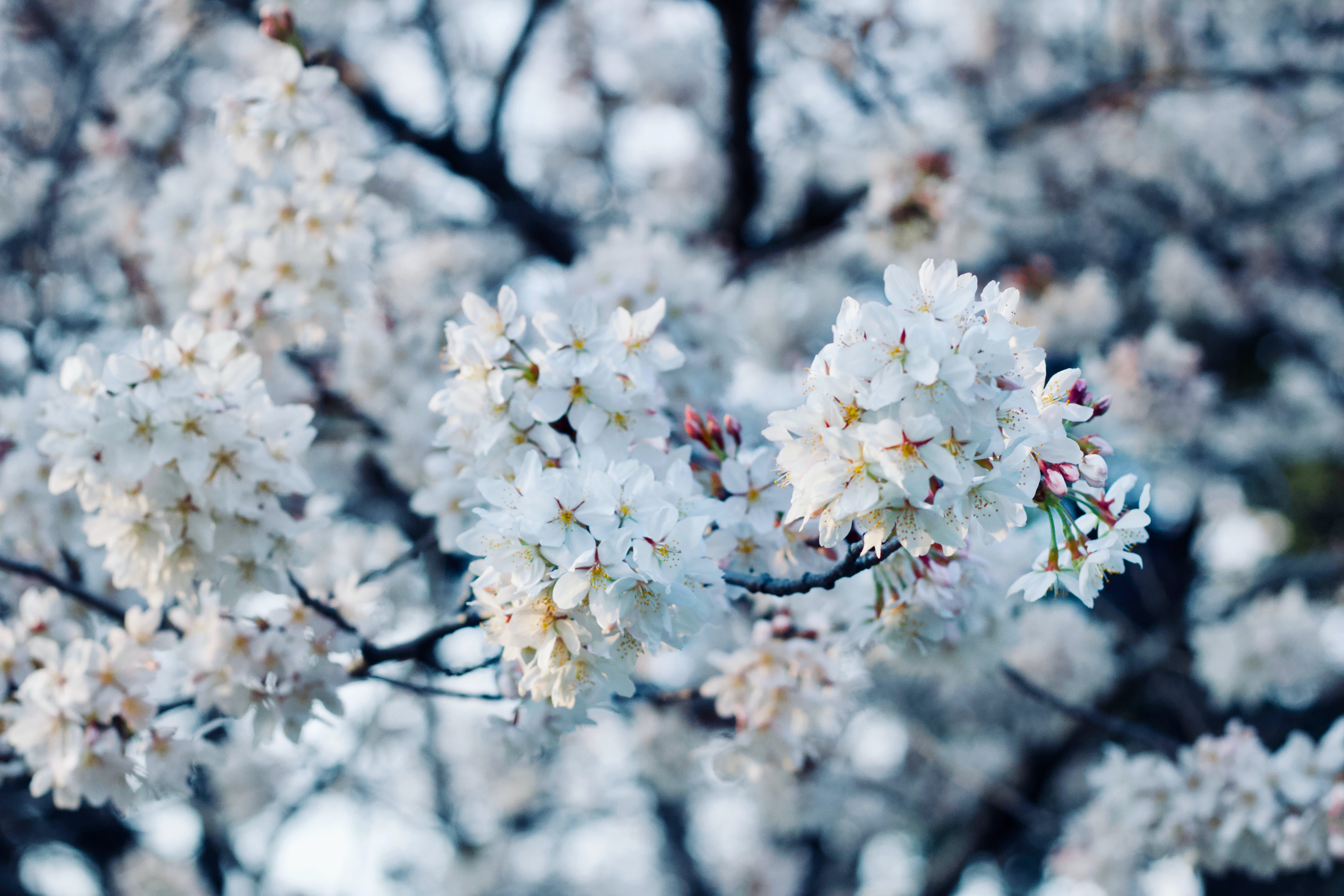 selective focus of cherry blossom tree