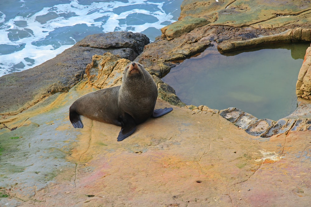gray seal stands on beige rock