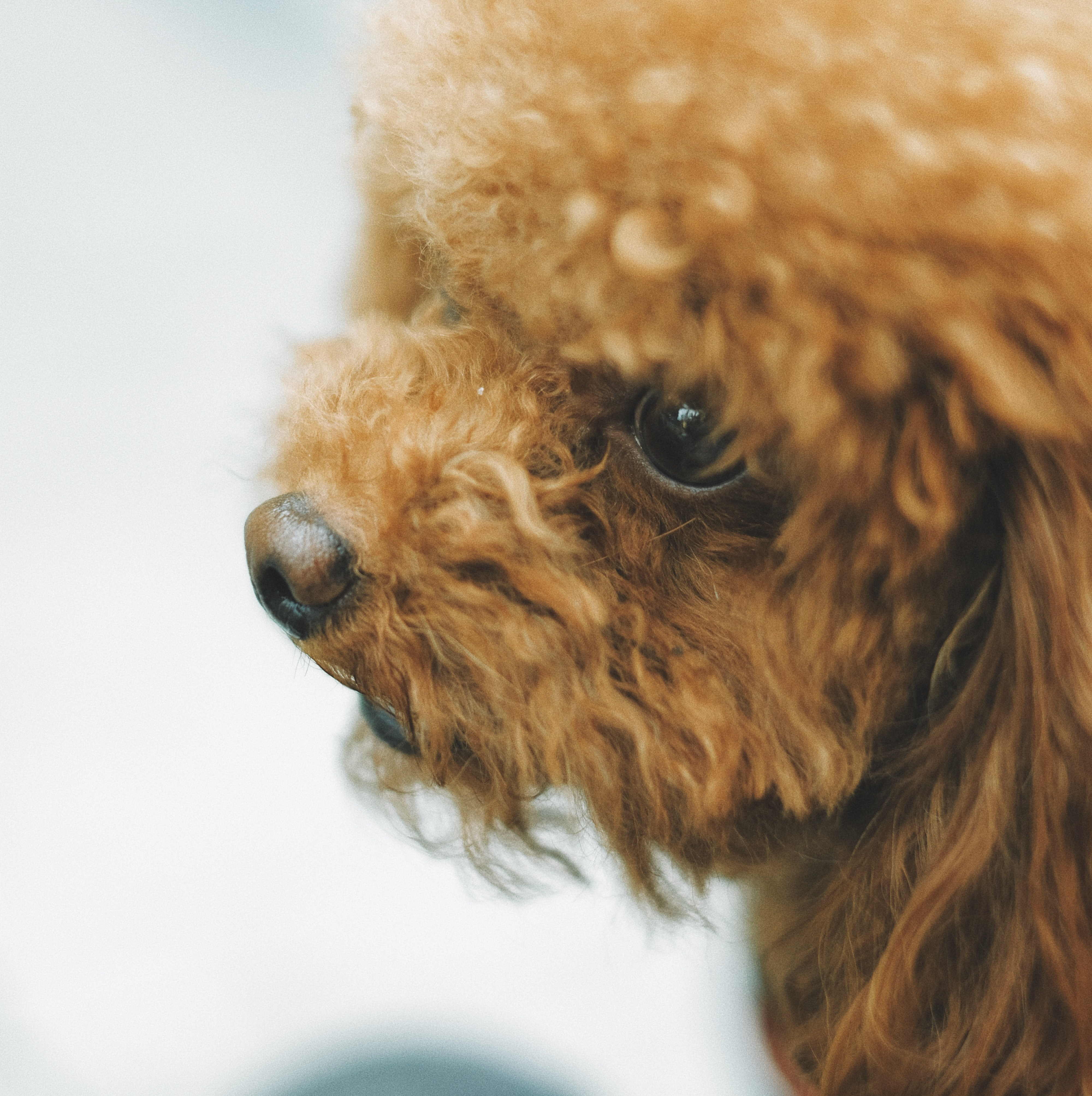 adult brown apricot toy poodle