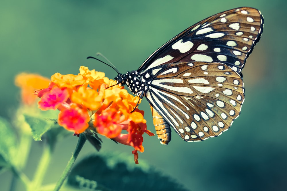 close up photo of brown and white butterfly perched on orange flower