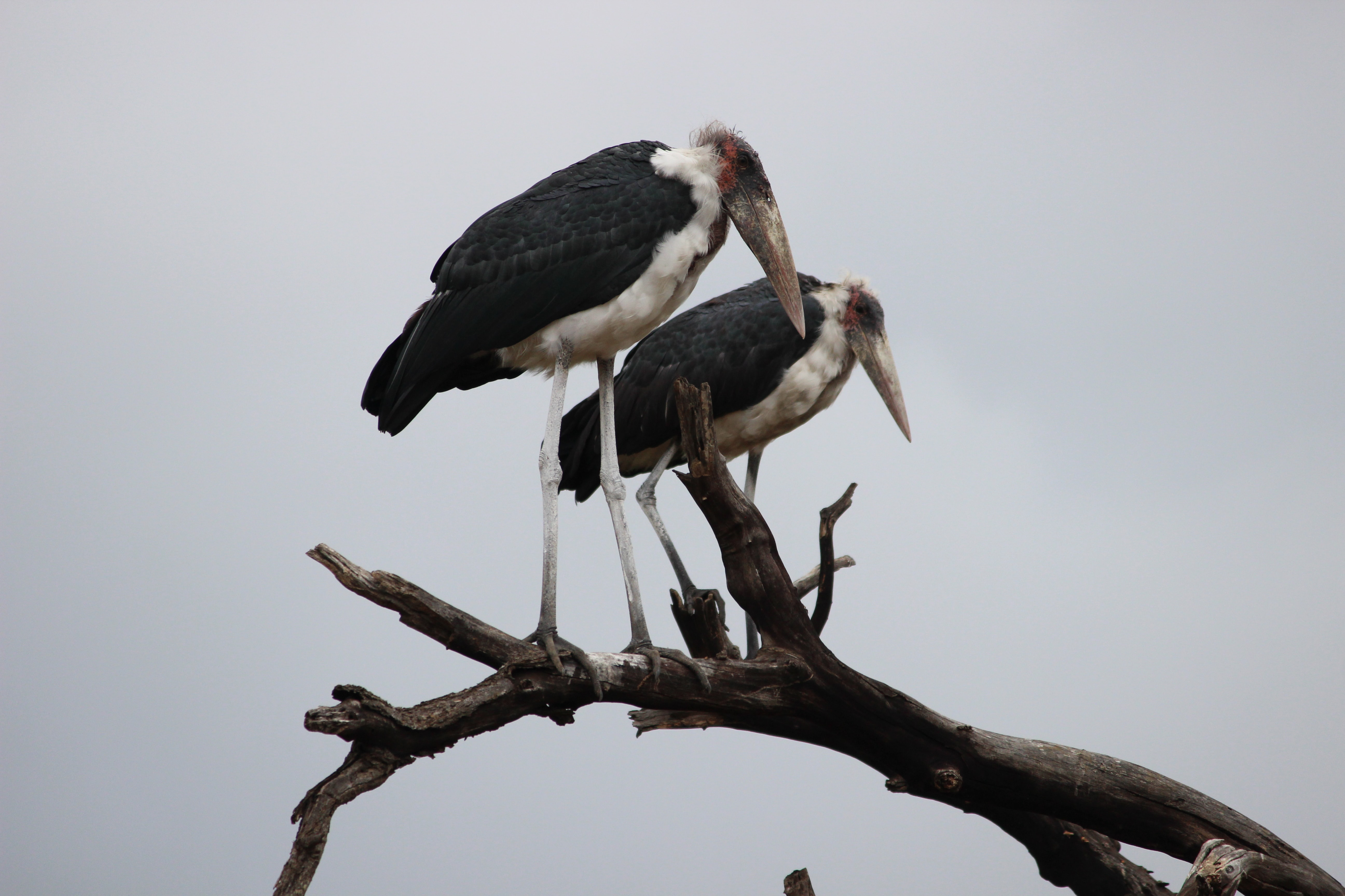 two black-and-white birds on tree under cloudy skies