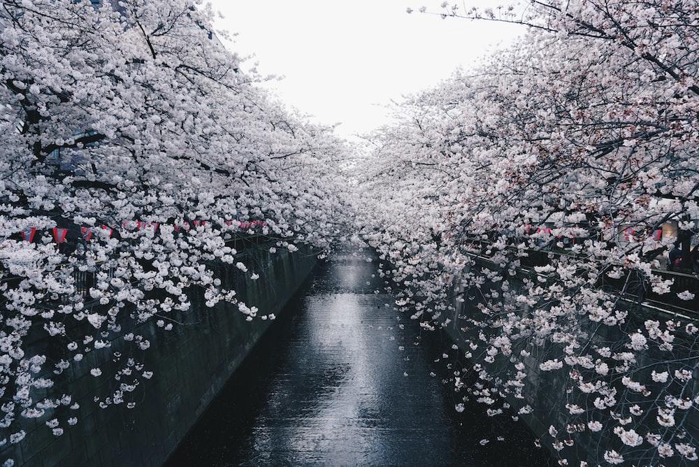 black concrete pavement between sakura trees during daytime