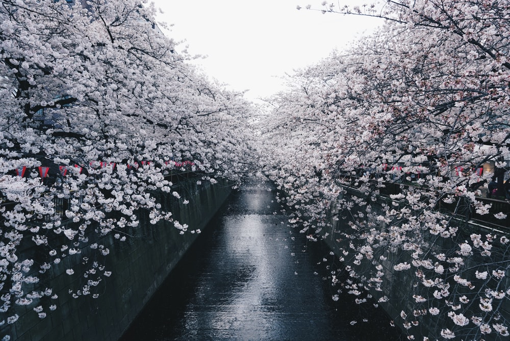 black concrete pavement between sakura trees during daytime
