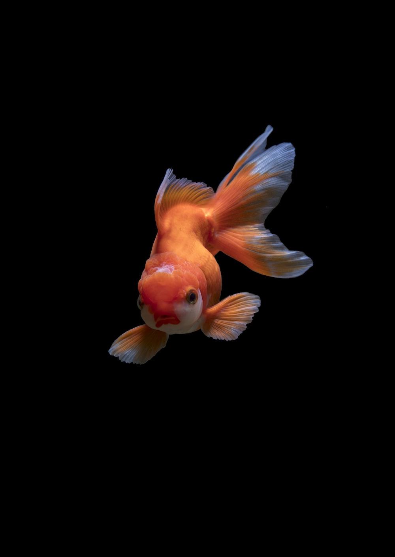 white gold fish