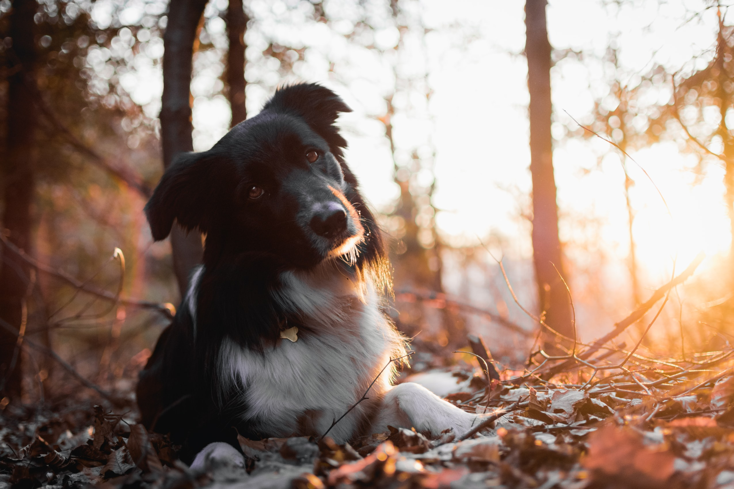 Dog lying down on the forest floor at sunset