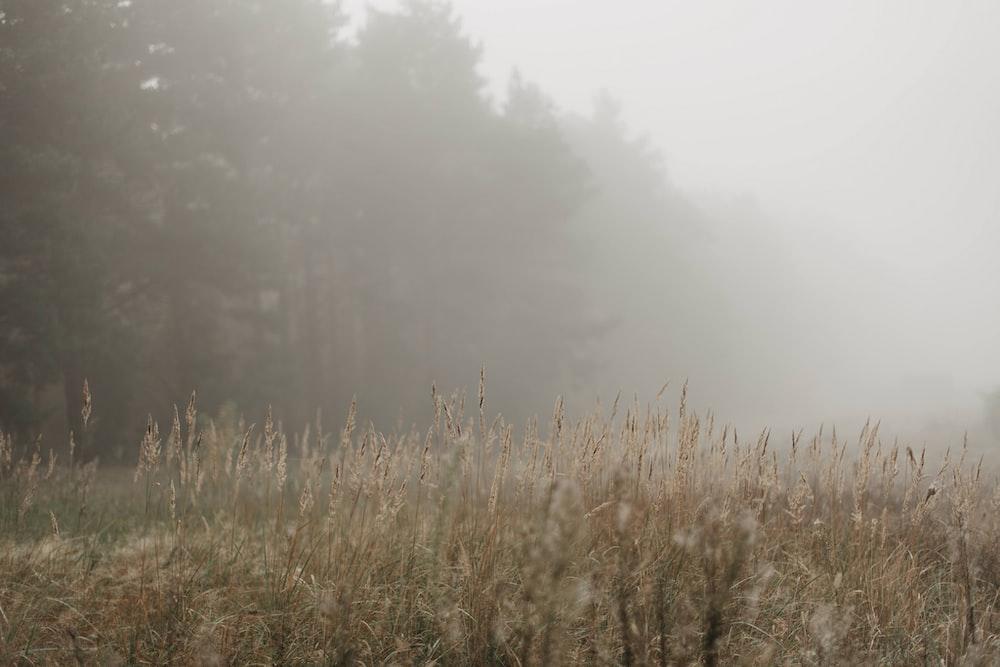 brown fountain grass under fog