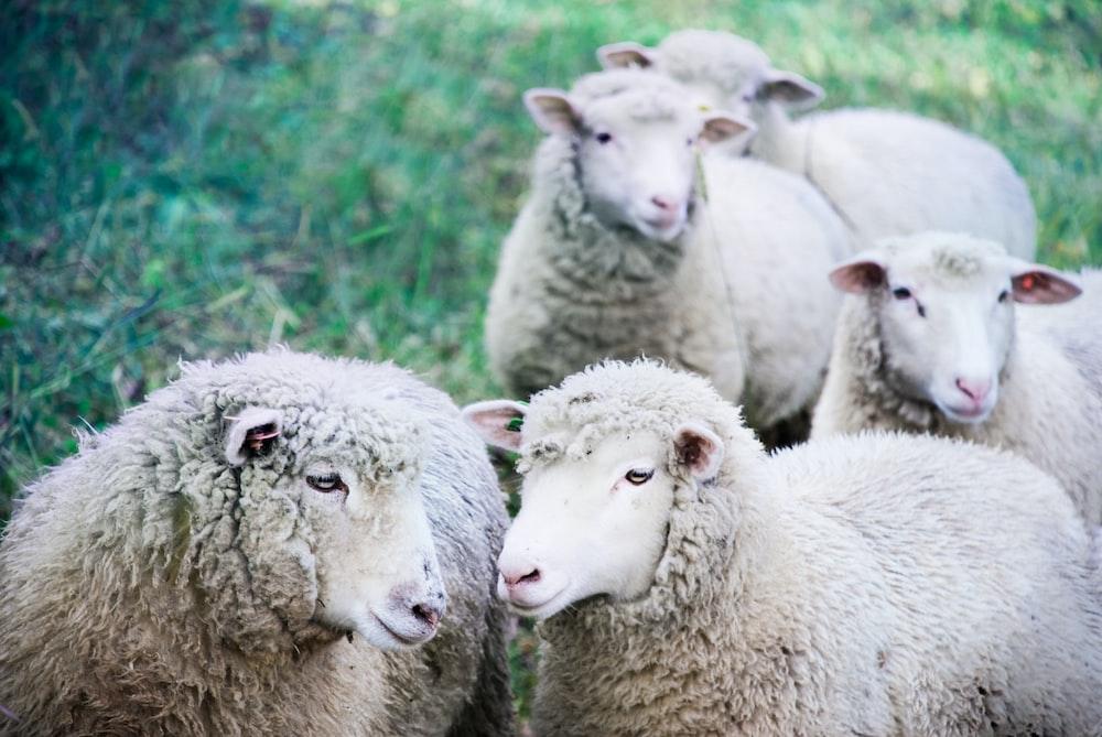 five white sheep on green land
