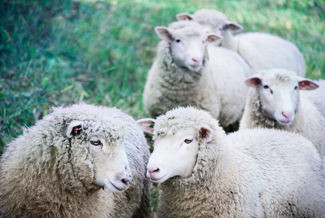 a moment of connection between the two lambs in the foreground
