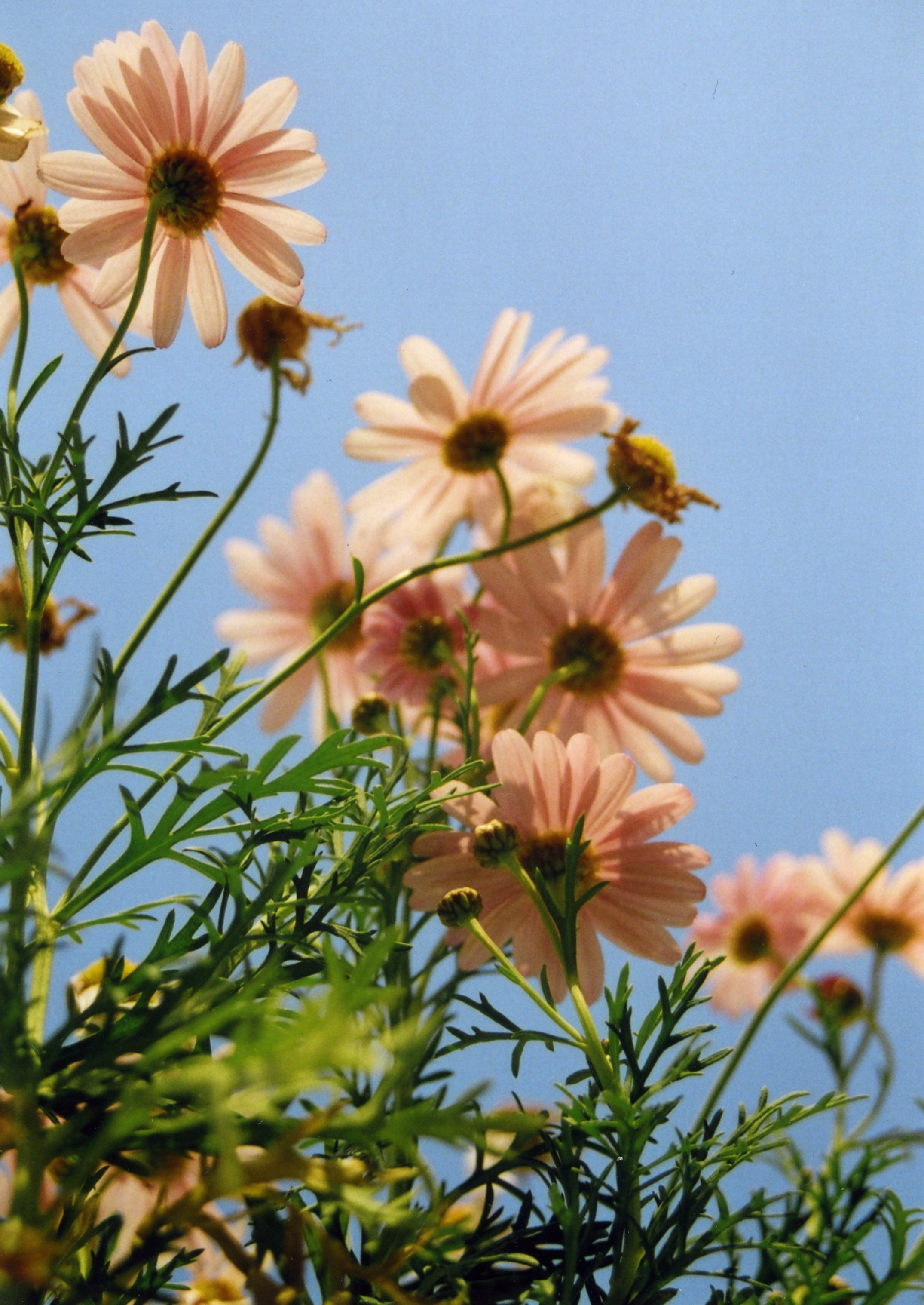 shallow focus photo of pink daisy flowers
