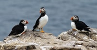 three white-and-black puffin birds on a rock