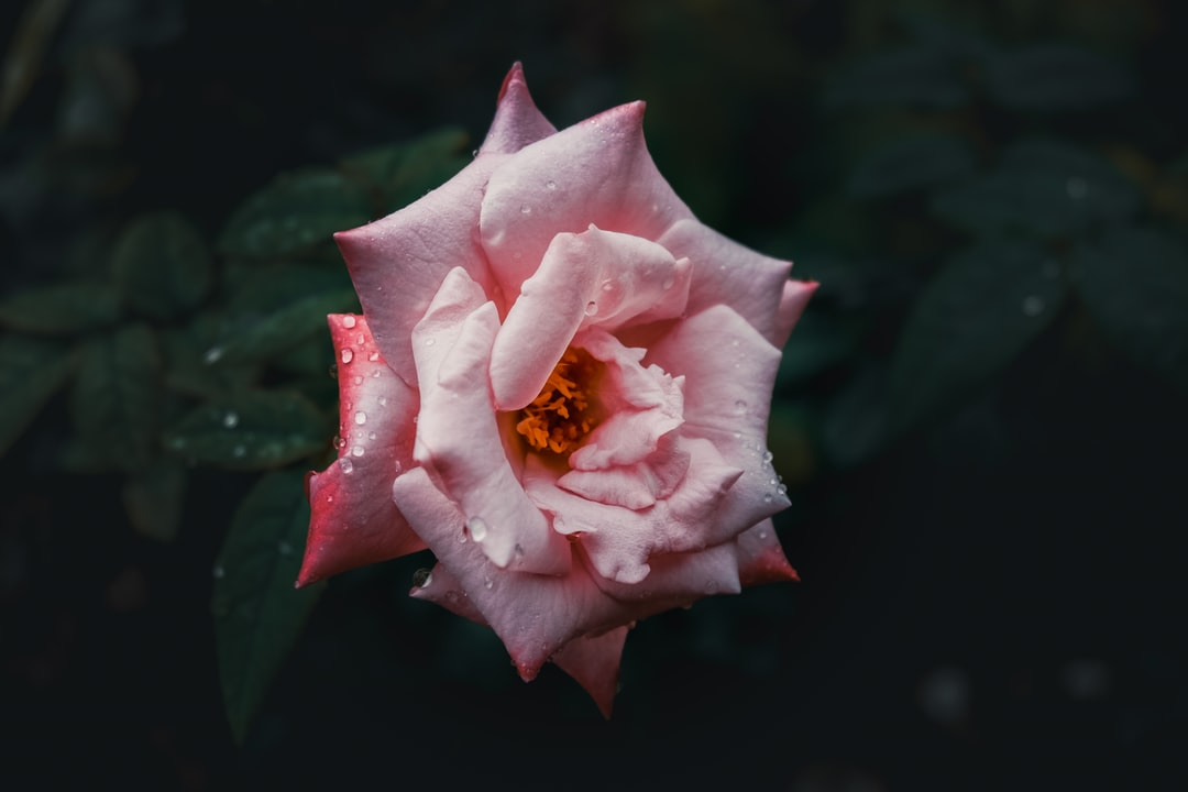 Water drops on the roses in the dark.