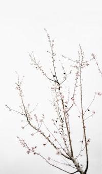 sakura tree under cloudy sky