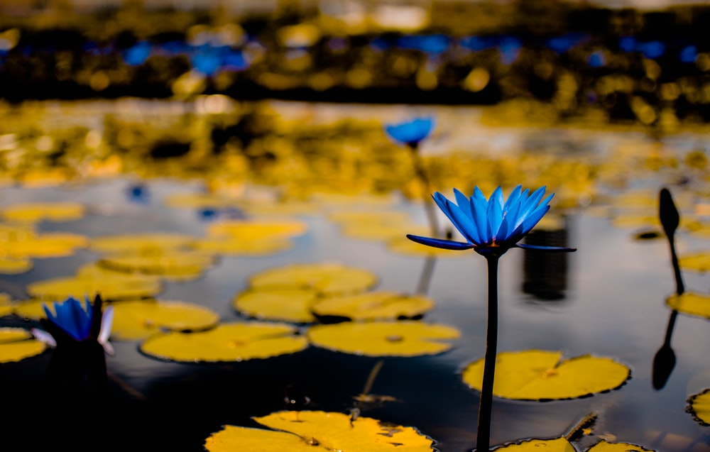 green lily pads with blue flowers in selective focus photography