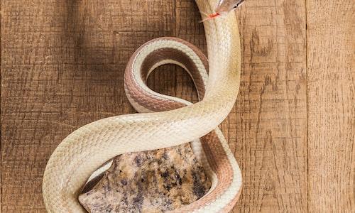 snake pickup line