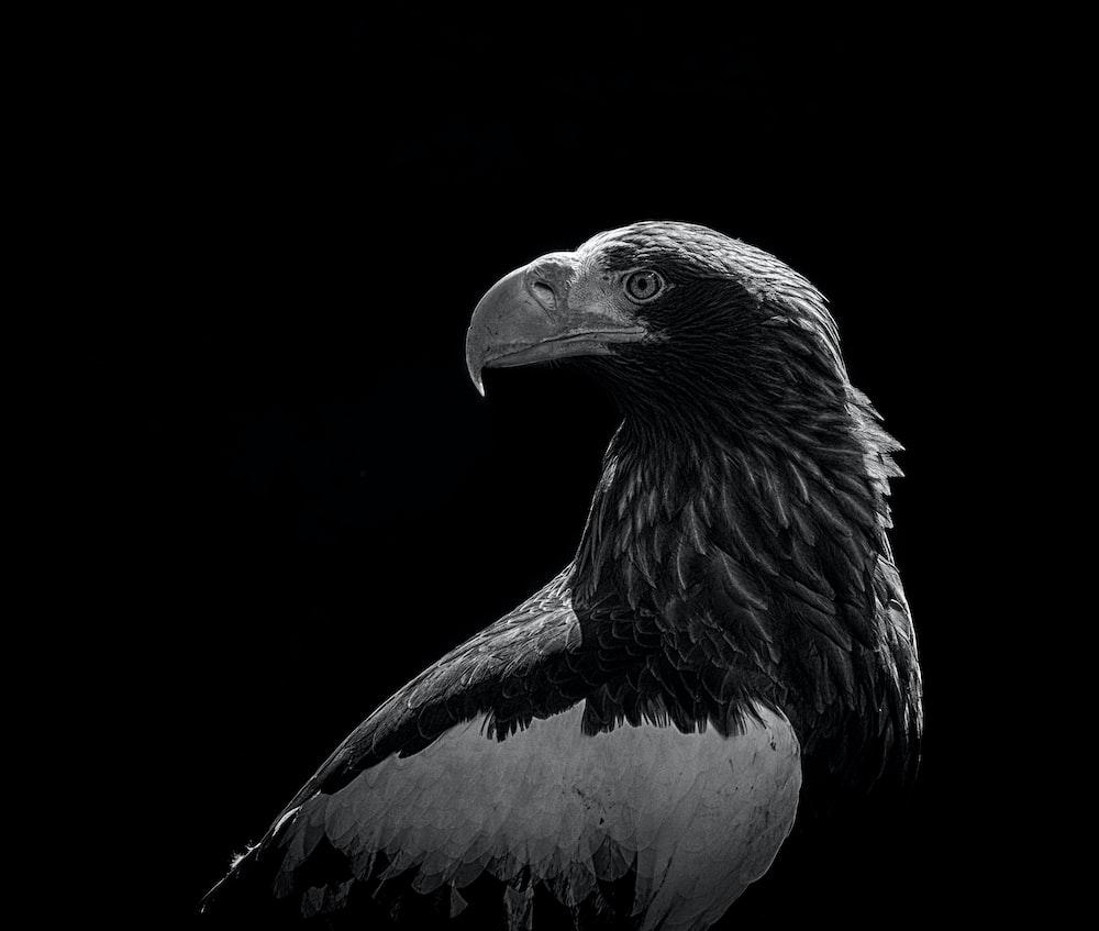 grayscale photo of bald eagle