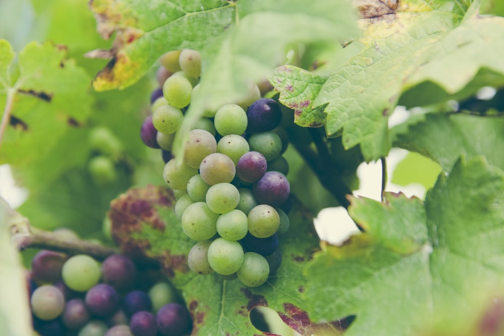 green and purple grapes hanging on vines
