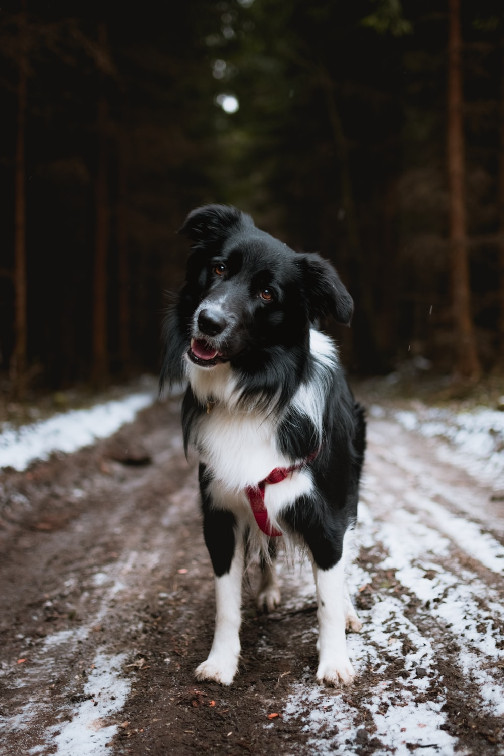 black and white dog standing on soil with snows
