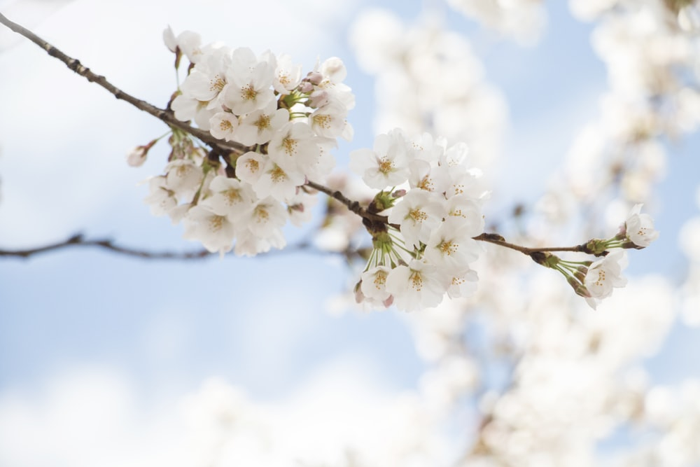 selective focus photography of white cherry blossom