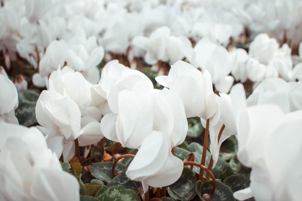 closeup photography of white flowers