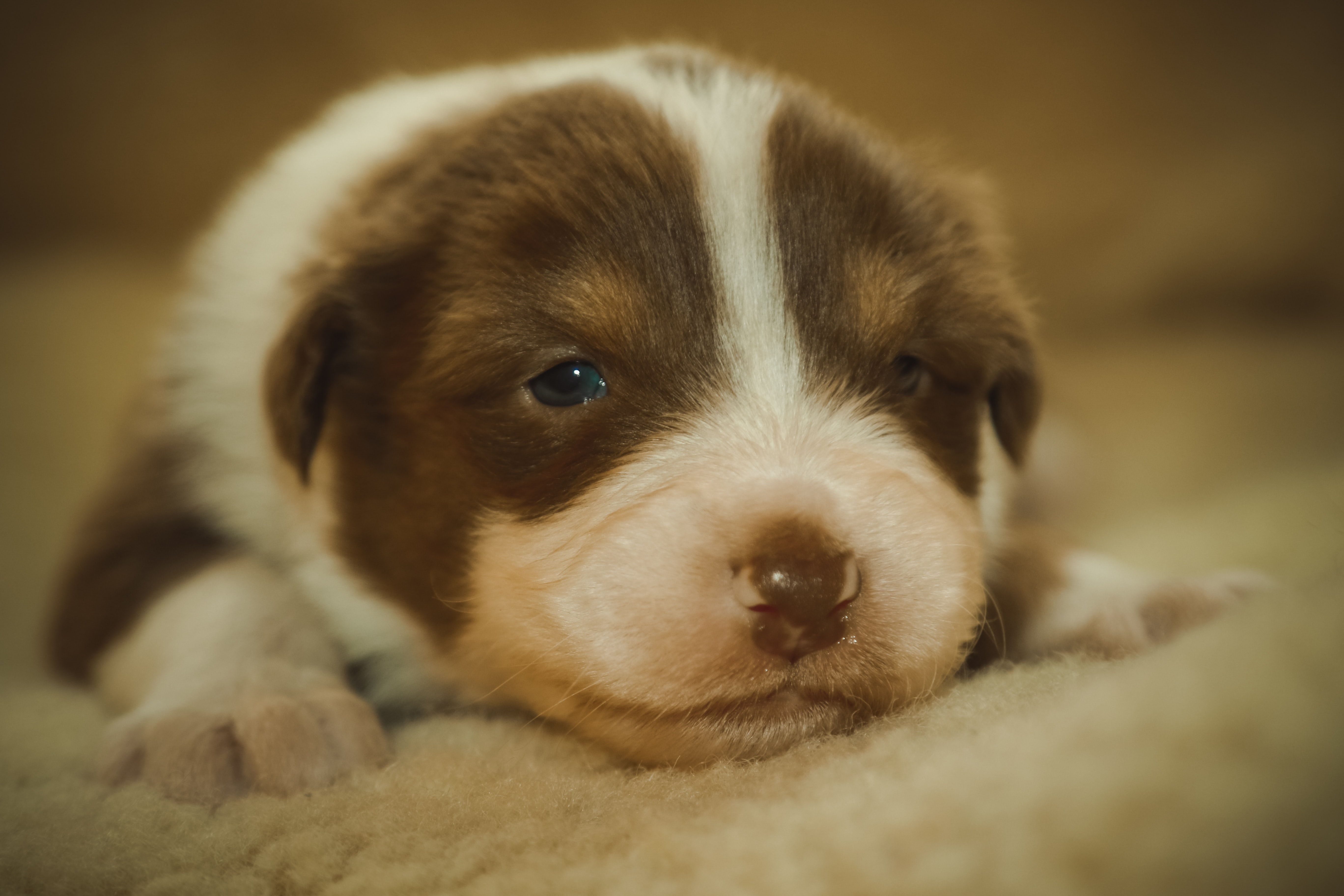 tilt shift lens photography of short-coated white and brown puppy