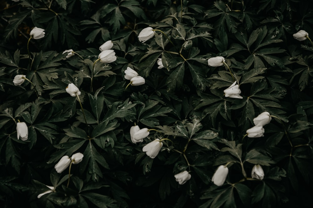 green leafed plant with white frlowers