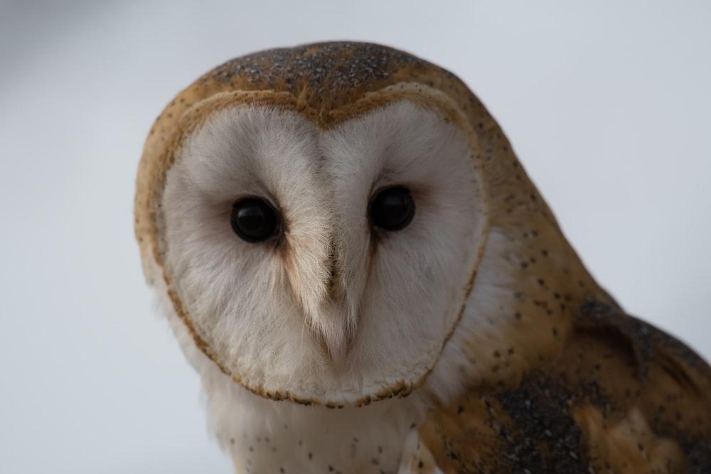brown owl wallpaper