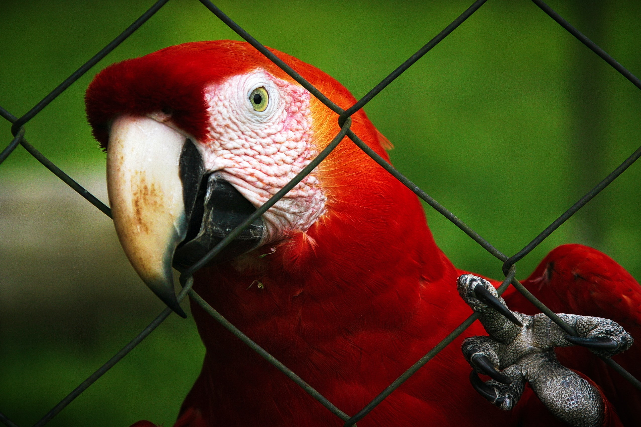 selective focus photography of red macaw parrot