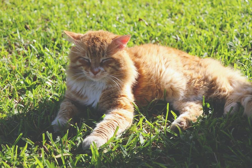 orange cat lying on grass