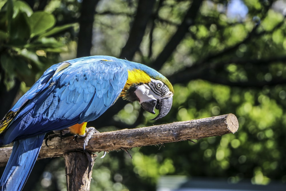 blue parrot perched on wood selective focus photography
