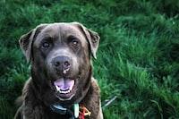 closeup photo of short-coated black dog