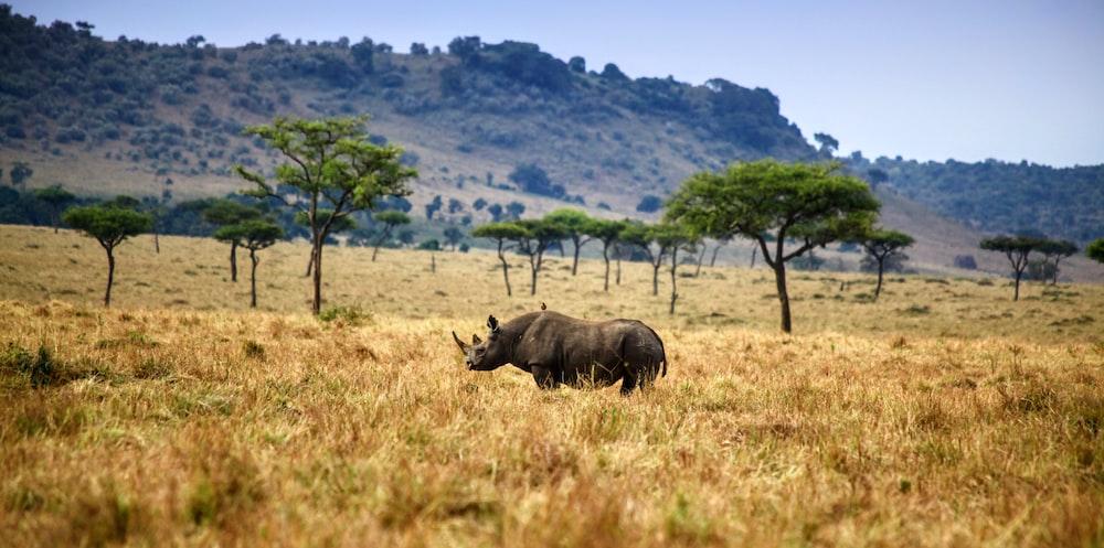 rhinoceros on brown field