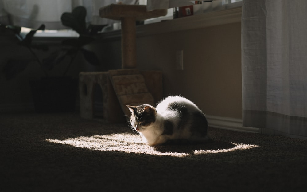 short-furred white and black cat on brown textile